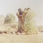 Krishnamurti Oak Tree