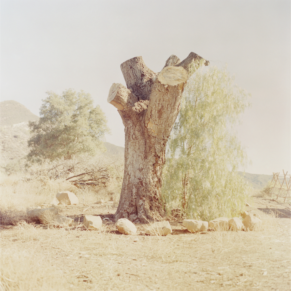 1. Krishnamurti Oak Tree