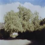 Pepper Tree II
